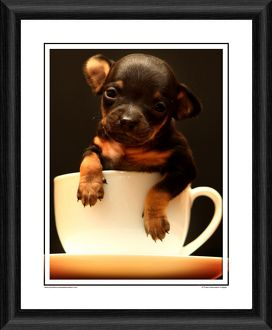 Chihuahua Puppy Framed Photographic Print