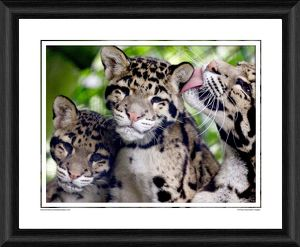 Clouded Leopard Cubs Framed Photographic Print