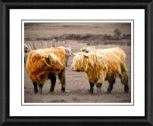 Highland Coo Framed Photographic Print