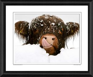 Highland Cow Framed Photographic Print