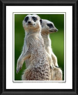 Meerkat Framed Photographic Print