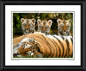 Siberian Tiger Cubs Framed Photographic Print