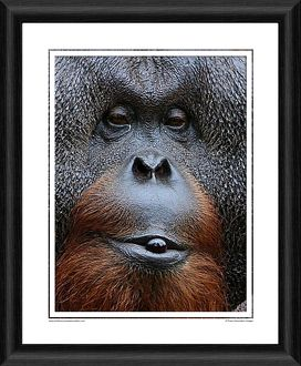 Sibu The Orangutan Framed Photographic Print