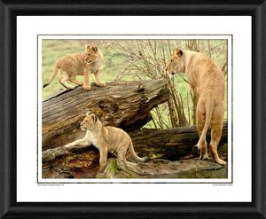 African Lion Cubs Framed Photographic Print