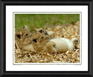 Lion Cubs Framed Photographic Print
