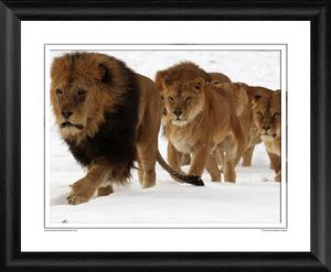 A Pride of Lions Framed Photographic Print