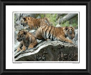 Sumatran Tiger Cubs Framed Photographic Print