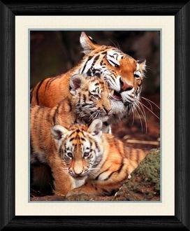 Tiger and Cubs Framed Print